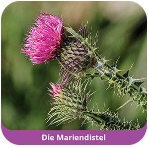 mariendistel_ebc_2